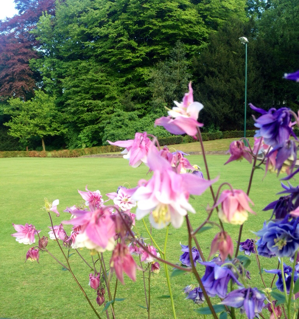 Some lovely aquilegia bobbing in the spring breeze